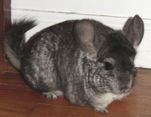 chinchillas-may-29-2008-042