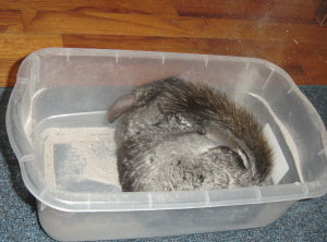 chinchillas-may-29-2008-061